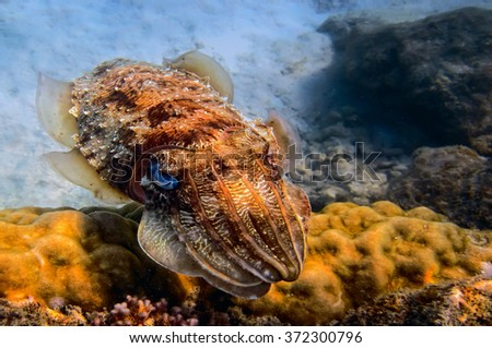 Colorful Squid cuttlefish underwater close up portrait in Red Sea, Egypt - stock photo