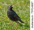 colorful starling bird outdoor (sturnus vulgaris) - stock photo