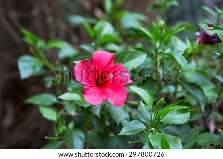 Colorful state flower of Hawaii, the Hibiscus - stock photo