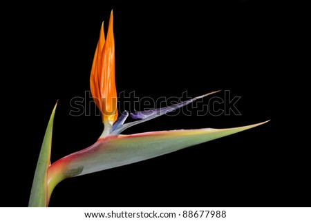 Colorful Strelitzia reginae flower - also known as crane flower or bird of paradise - stock photo