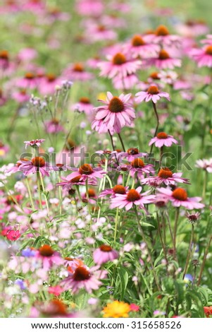 colorful summer meadow with echinacea flowers