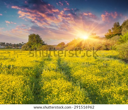 Colorful summer sunrise on the meadow of yellow flowers.  - stock photo