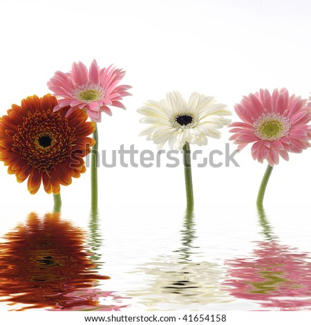 Colorful sunflower close up with reflection - stock photo