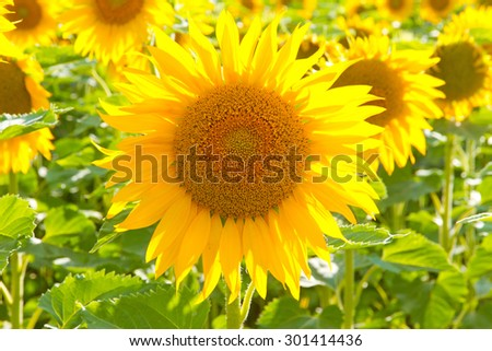 Colorful sunflower on the swabian alps, germany - stock photo