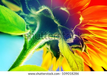 Colorful sunflowers. - stock photo