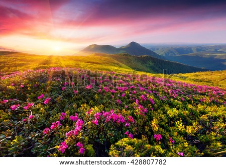 Colorful sunny scene in the Carpathian mountains with blooming of pink rhododendron flowers. Sunrise in the mountains. Artistic style post processed photo. - stock photo