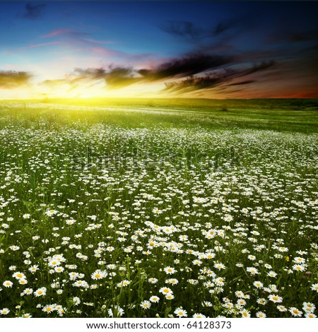 Colorful sunset over daisy field. - stock photo