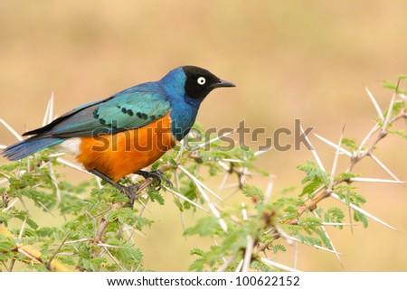Colorful Superb Starling on the wood, Samburu, Kenya - stock photo