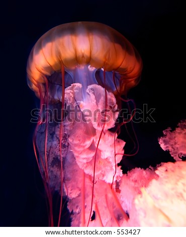 Colorful swimming jellyfish. - stock photo
