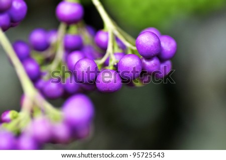 Colorful tiny, violet berries, found in the tropics - stock photo
