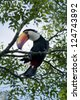 colorful toucan sitted on a branch in the Iguazu National Park between Argentina and Brazil - stock photo