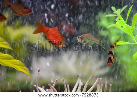 Colorful tropical fish in a fresh water aquarium