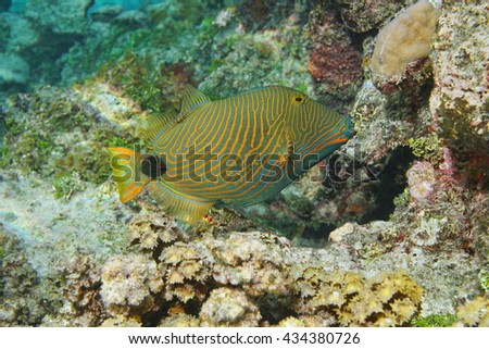 Colorful tropical fish orange-lined triggerfish, Balistapus undulatus, Pacific ocean, underwater in the lagoon of Huahine island, French Polynesia - stock photo