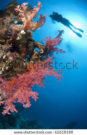 Colorful tropical reef with scuba diver sihouette in the background. Ras Ghozlani, Sharm el Sheikh, Red Sea, Egypt.