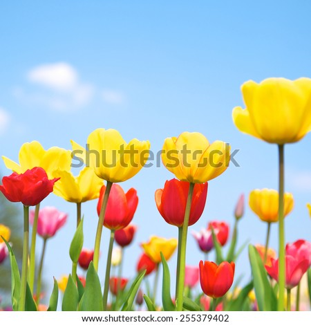 Colorful tulip field, It smells like spring - stock photo