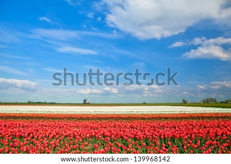 colorful tulip fields and windmill in spring, Alkmaar, North Holland - stock photo