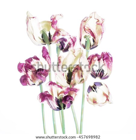 Colorful tulips and petals - stock photo