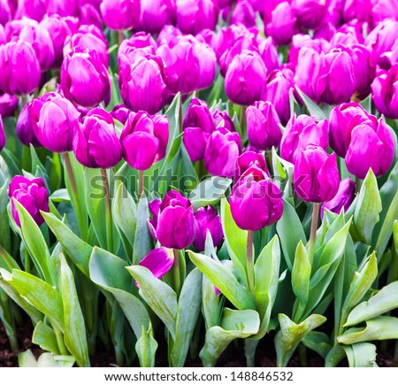 colorful tulips. Beautiful spring flowers. background of flowers. - stock photo