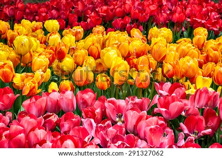 Colorful tulips closeup in Gulhane park, Istanbul - stock photo