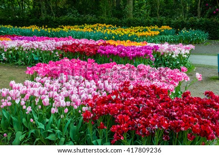 Colorful tulips in Keukenhof Park, Lisse in Holland.