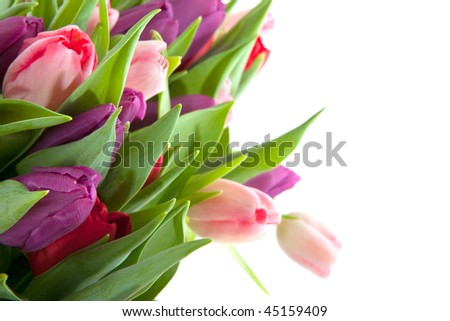 colorful tulips in pink purple and red