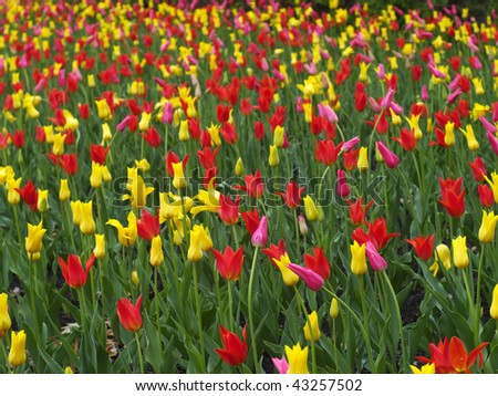 Colorful tulips in spring - stock photo
