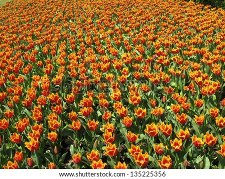 colorful tulips in the large field