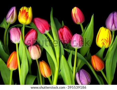 Colorful Tulips isolated on dramatic black background - stock photo