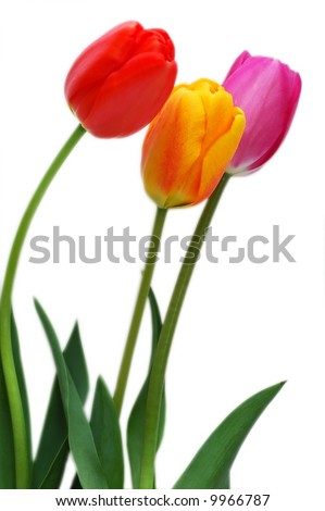 Colorful tulips isolated on white background - stock photo
