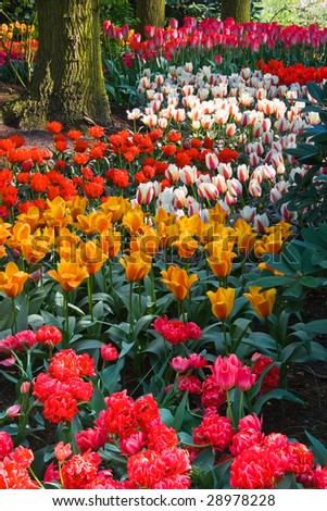 Colorful tulips on an april day in spring