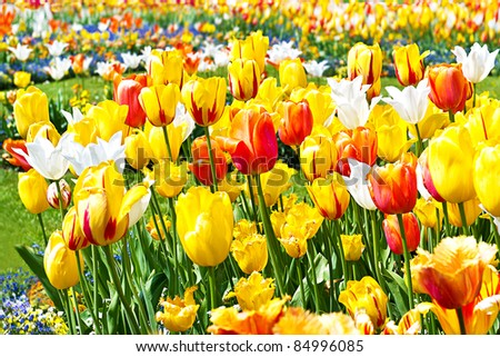 colorful tulips on flowerbed. yellow and red blooms outdoors - stock photo