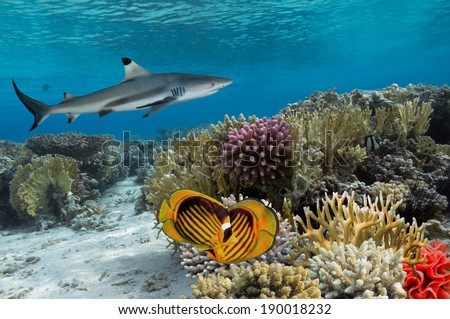 Colorful underwater coral reef with yellow stripped fish and big shark - stock photo
