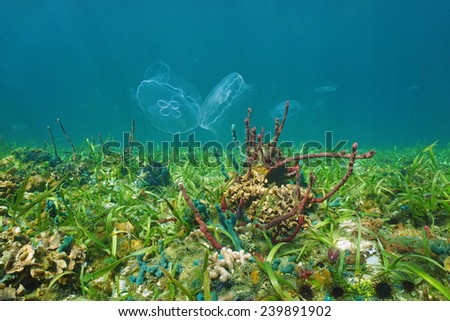 Colorful underwater life on the seabed with moon jellyfish, Caribbean sea - stock photo
