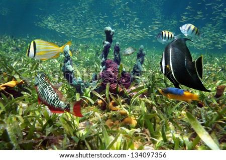 Colorful underwater life with tropical fish and sea sponges on ocean floor with turtle grass - stock photo
