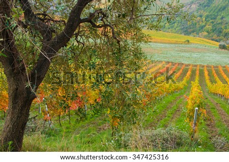 Colorful vineyard in autumn - stock photo