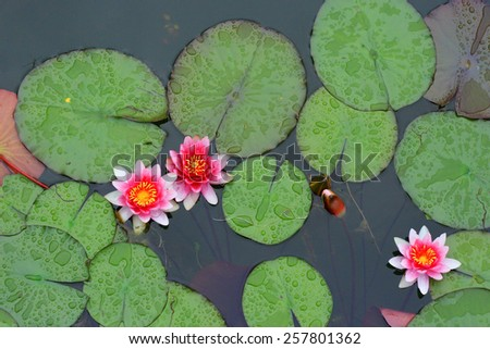 Colorful water-lily horizontal photo.