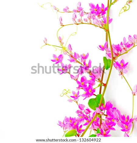 Colorful white and purple flower, Crown Flower, Giant Indian Milkweed, Gigantic Swallowwort (Calotropis gigantea) isolated on a white background - stock photo