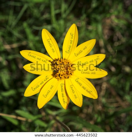Colorful yellow daisy flower with loves me not text on petals and green field blur background. - stock photo