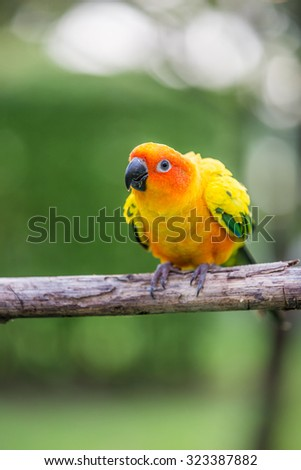 Colorful yellow parrot, Sun Conure (Aratinga solstitialis), standing on the branch - stock photo