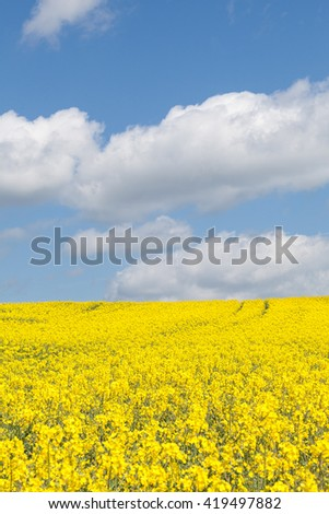 Colorful yellow rape field, Brassica napus, also called colza, canola, rapaseed, rapeseed, under a sunny blue sky with fluffy white clouds cultivated for its oil, as fodder and a biofuel - stock photo