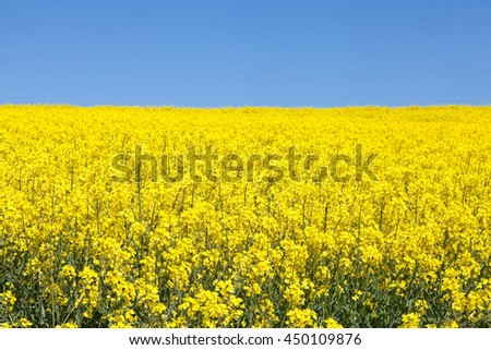 Colorful yellow rapeseed field under a clear sunny blue sky, also known as colza, canola, rapaseed,  oilseed and rape grown for its oil and as a silage crop for livestock - stock photo