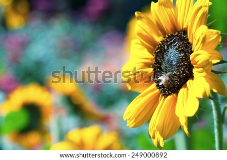 Colorful Yellow Sunflower with Honey Bee against Flower Field background with room or space for copy, text, your words.  Horizontal with vintage cool toned artistic blurred bokeh - stock photo