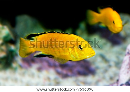 colorful yellow tropical fish of the cichlid family