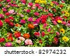 Colorful zinnia flower field - stock photo