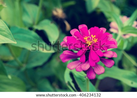 Colorful Zinnia flowers blooming in garden. Sunflower tribe flowers. Daisy family flowers. - stock photo