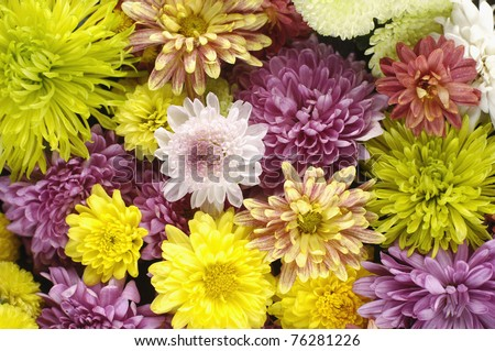 colorfulgerberas flowers-texture background - stock photo