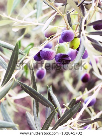 Colors.Olives mature on the tree - stock photo