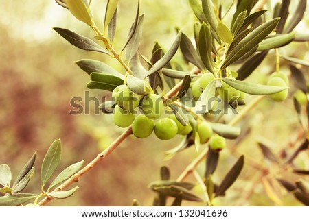 Colors.Olives  tree - stock photo