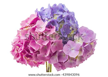 Colourful bouquet of hydrangea flowerheads, Hydrangea macrophylla, isolated on white background - stock photo