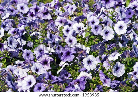 Colourful flower background. Petunias flowerbed
